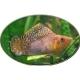 lepistes balık